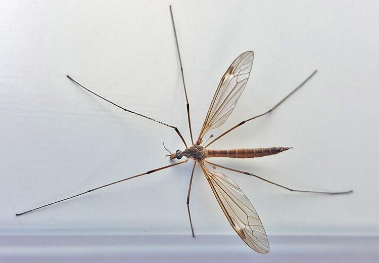 Комар долгоножка: описание и опасность