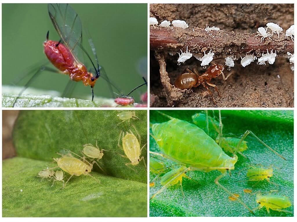 Корневая тля – паразит садовых и комнатных растений