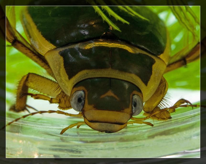 Хищный обитатель пресных водоемов — жук плавунец