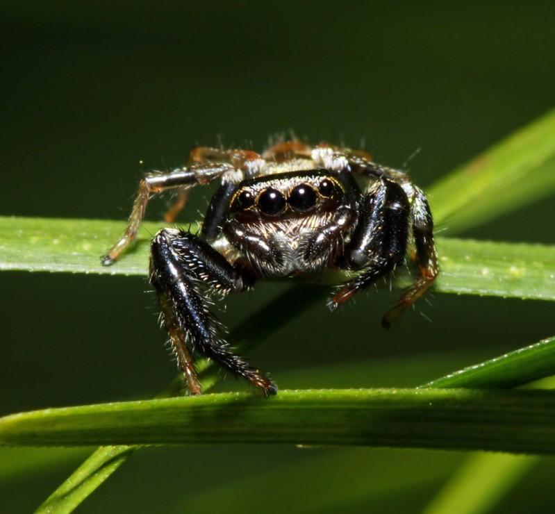 Паук скакун содержание в домашних условиях. паук-скакун – самый стремительный представитель своего семейства. серый и черный домашний паук
