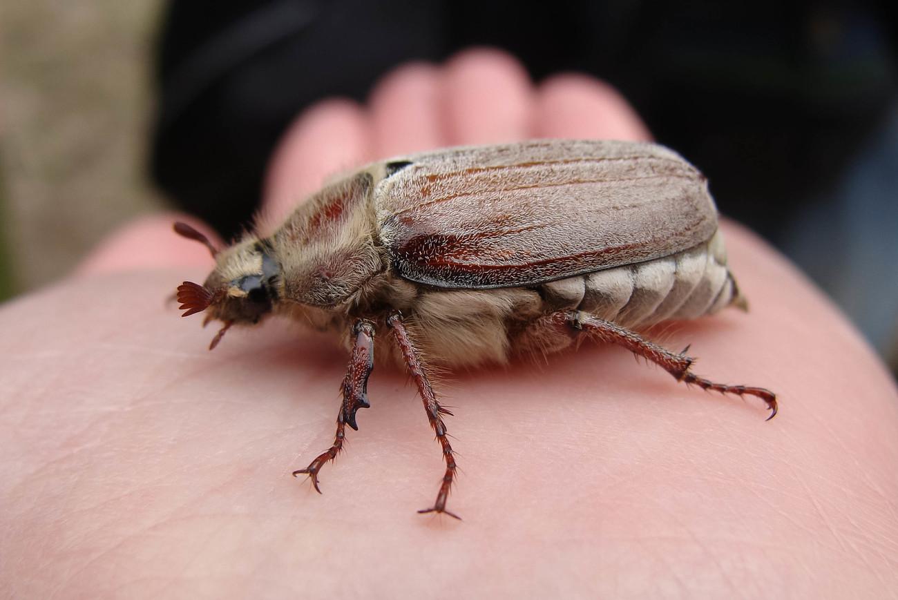 Майский жук – описание, виды, фото, где обитает, чем питается