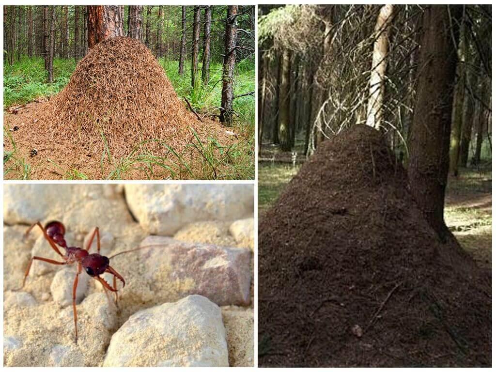 Самый большой муравей в мире: фото