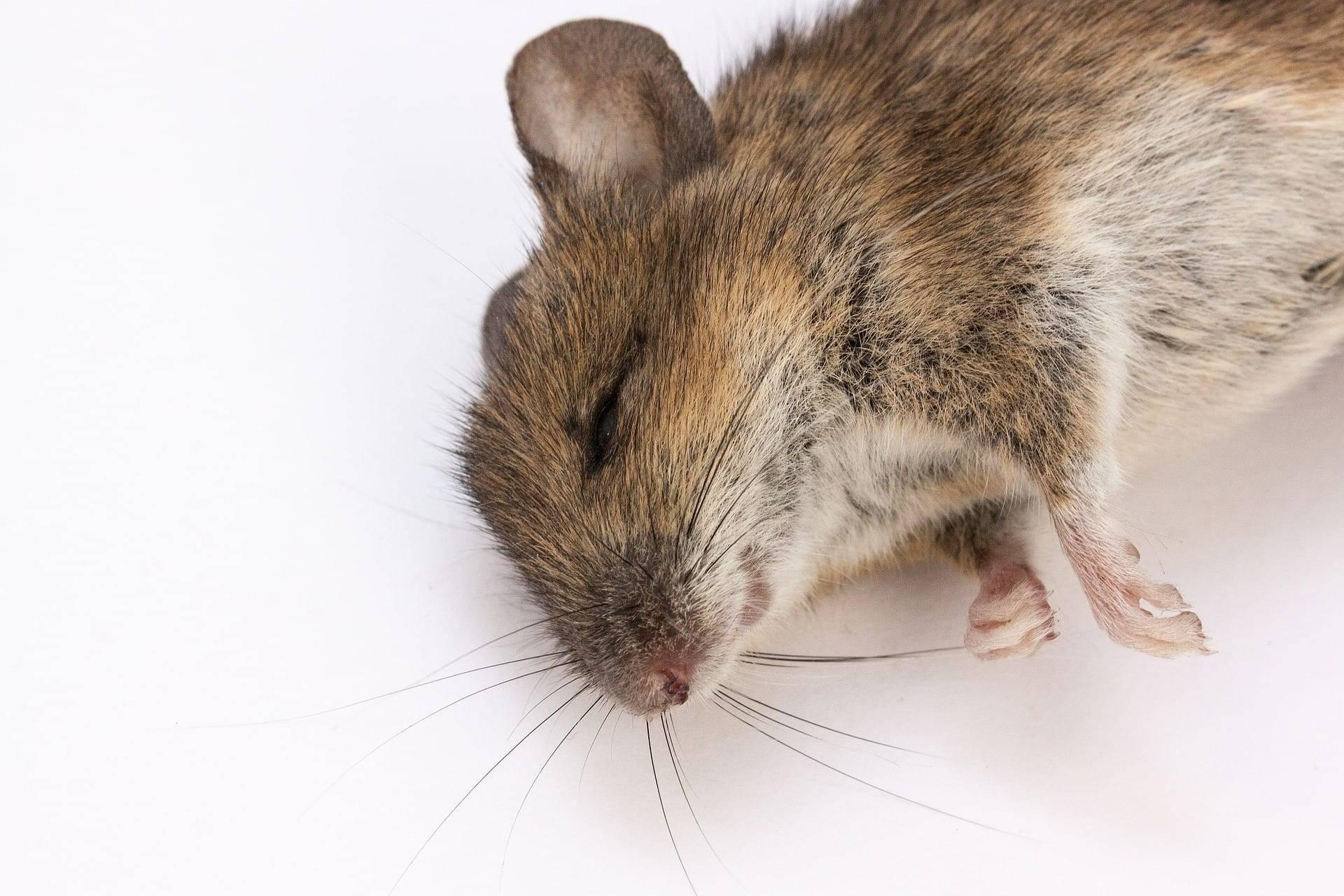 Как избавиться от запаха дохлой крысы и вернуть свежесть в дом