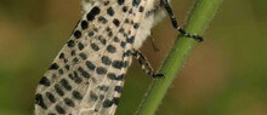 Бабочки-вредители растений в садах и на огородах