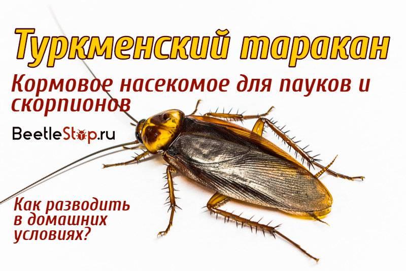 Туркменский таракан: выращивание насекомого в домашних условиях