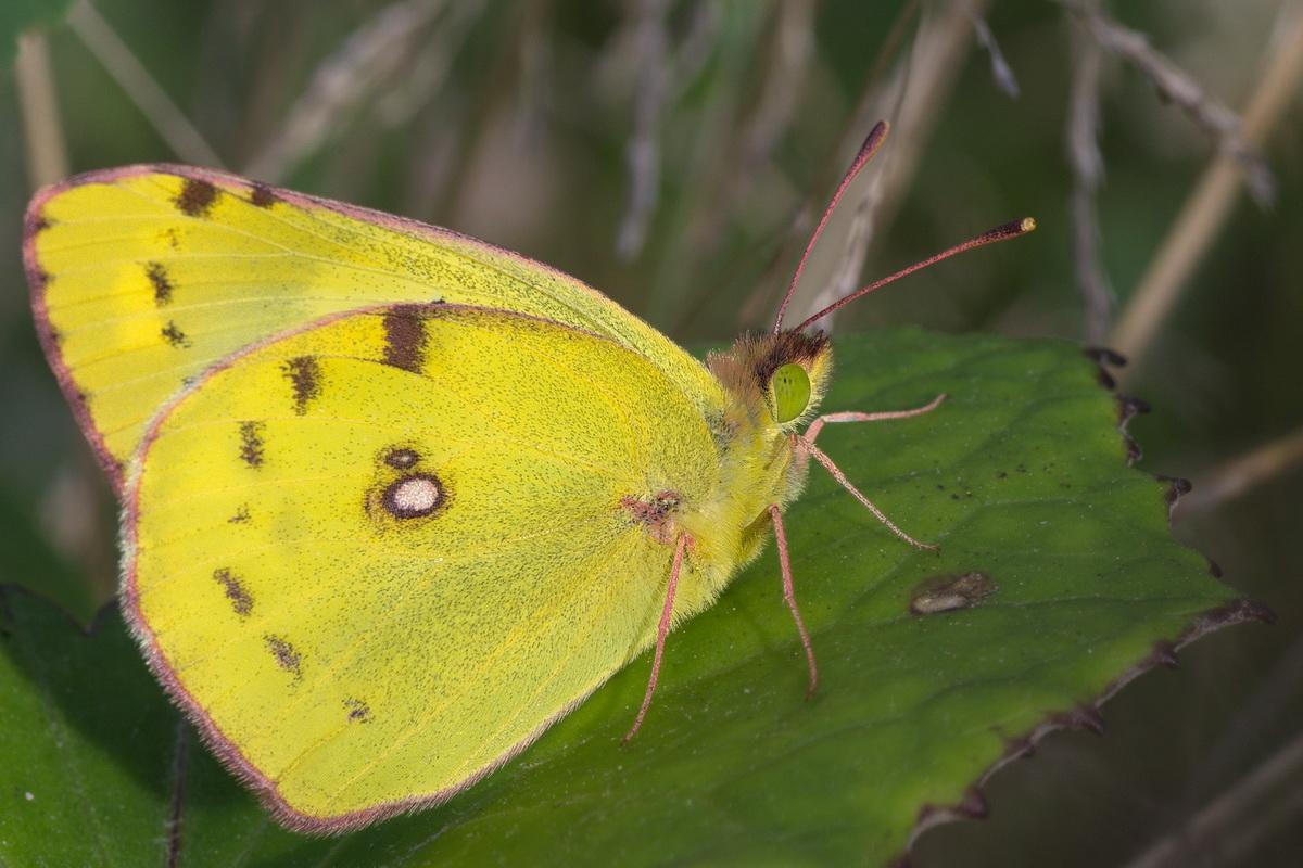 Бабочка луговая желтушка описание для детей. бабочка желтушка — описание, среда обитания, виды. особенности размножения и развития