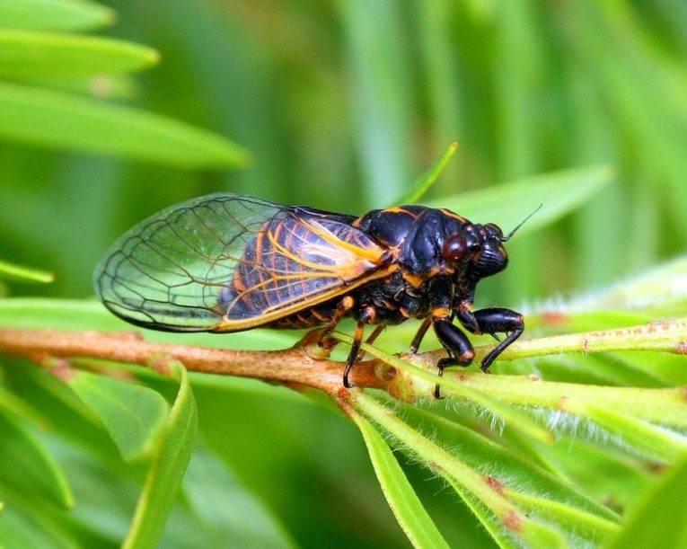 Насекомые и их знакомые №8 - азиатская цикада, журнал