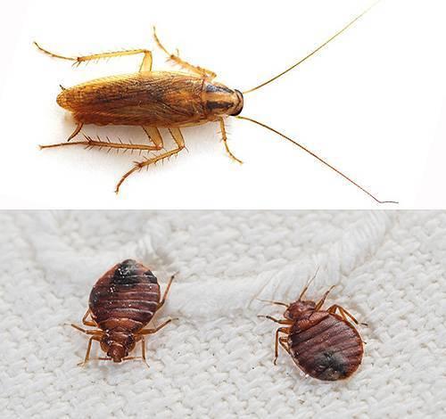 Тараканы - чем опасны для человека в квартире, могут ли залезть в ухо, какие болезни переносят