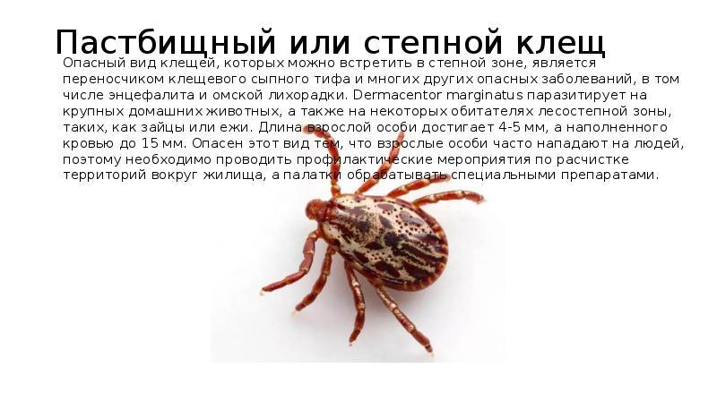 Про таежного клеща и опасность его укусов для человека