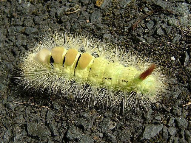 Прожорливые гусеницы бабочки совки