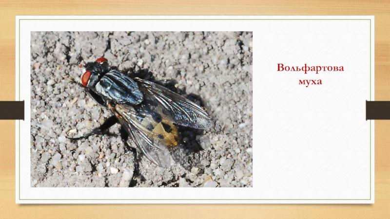 Описание и фото вольфартовой мухи. вольфартова муха: образ жизни паразита, пути заражения и методы лечения вольфартиоза