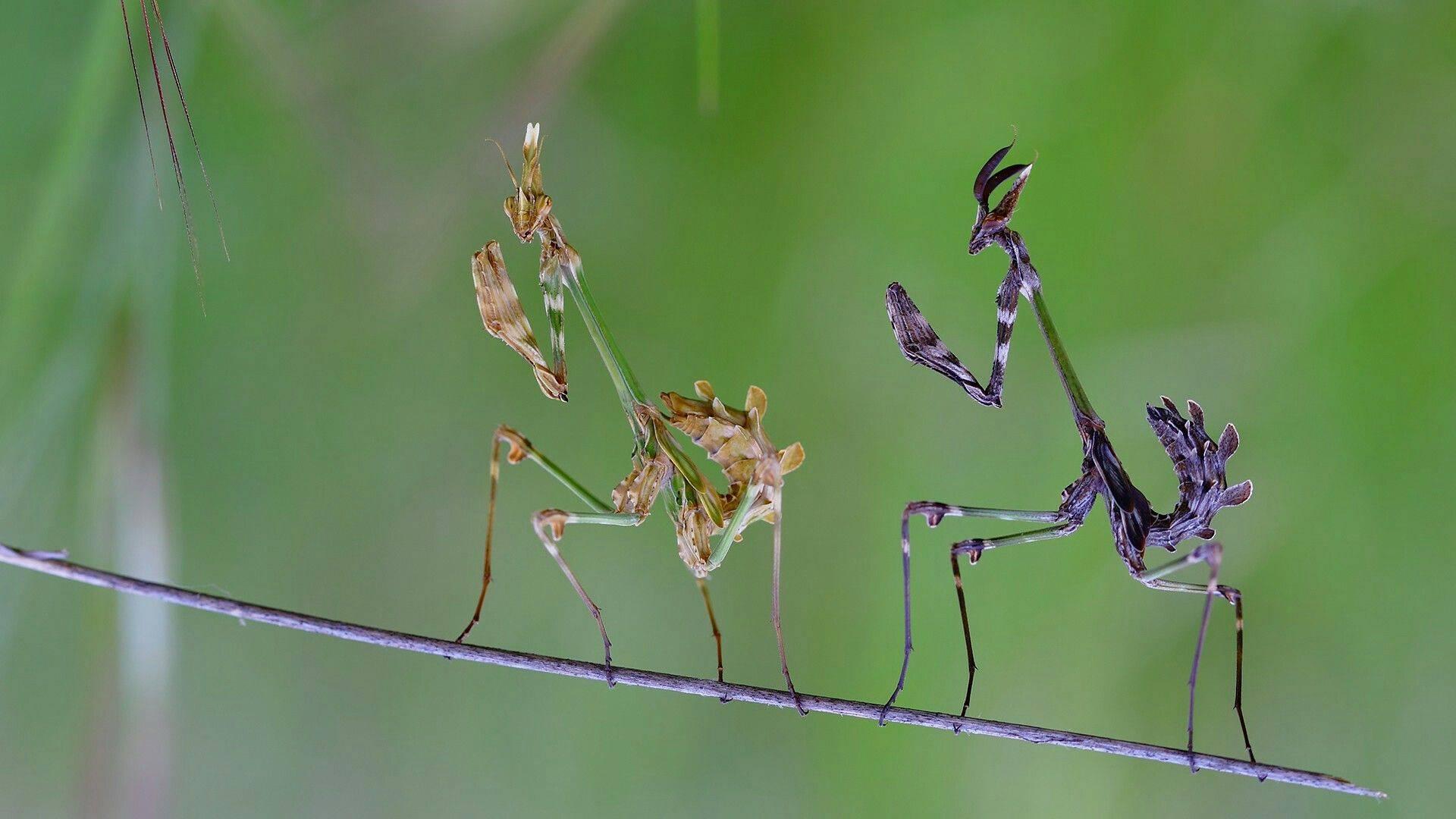 Богомол - 82 фото очень невероятного хищного насекомого