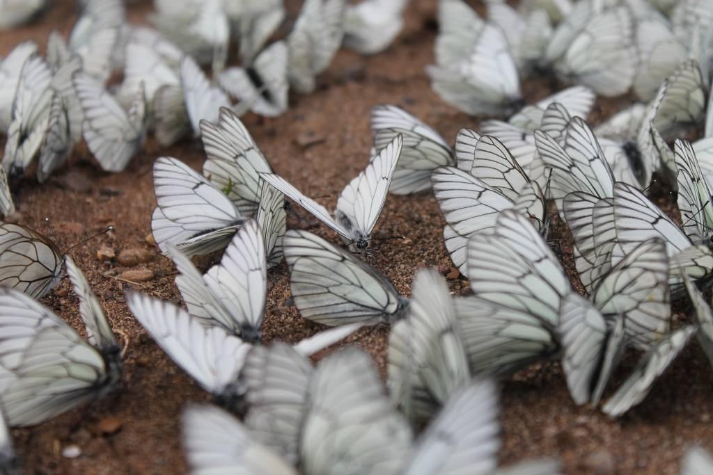 Бабочка боярышница и меры борьбы с ней