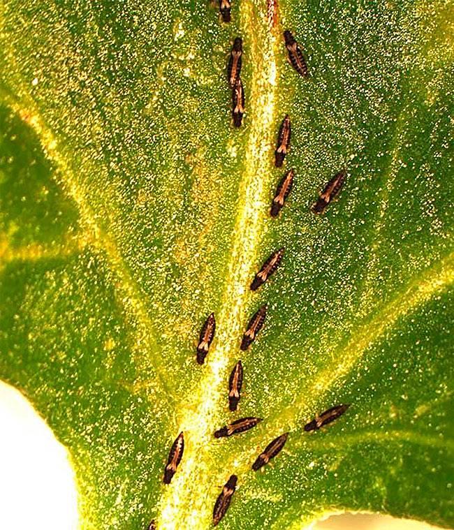 Трипсы на растениях: как бороться, препараты, народные средства