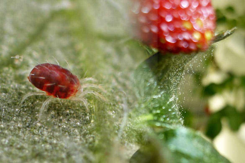 Паутинный клещ на розе, бороться с ним при помощи действенных средств, как спасти растение от паутины