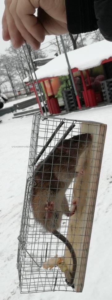 Крысоловка своими руками - как сделать ловушку