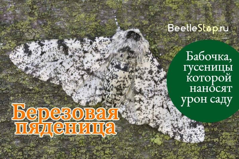 Пяденица сосновая – вредитель хвойных лесов