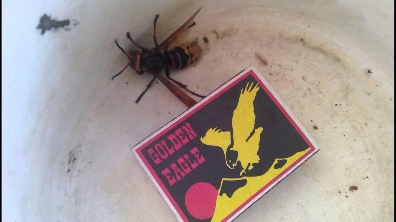 Шершень в доме: что делать и как выгнать насекомое из комнаты