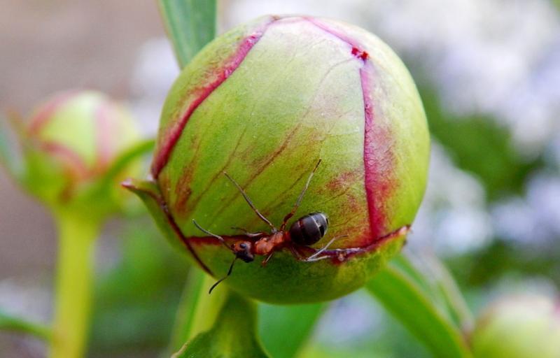 Избавляем пионы от нашествия муравьев