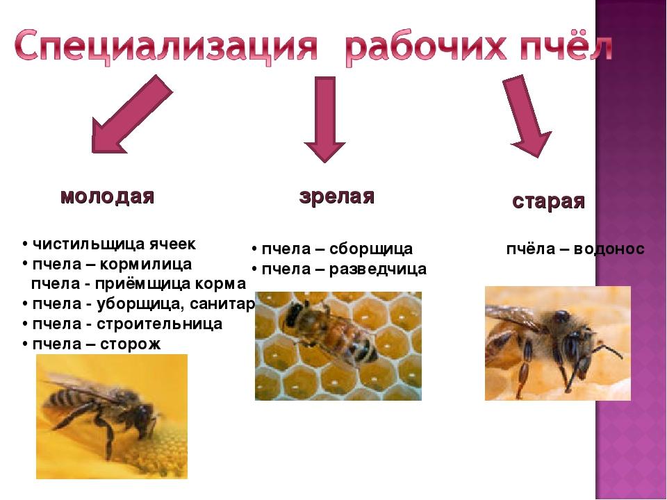 Древняя история пчёл