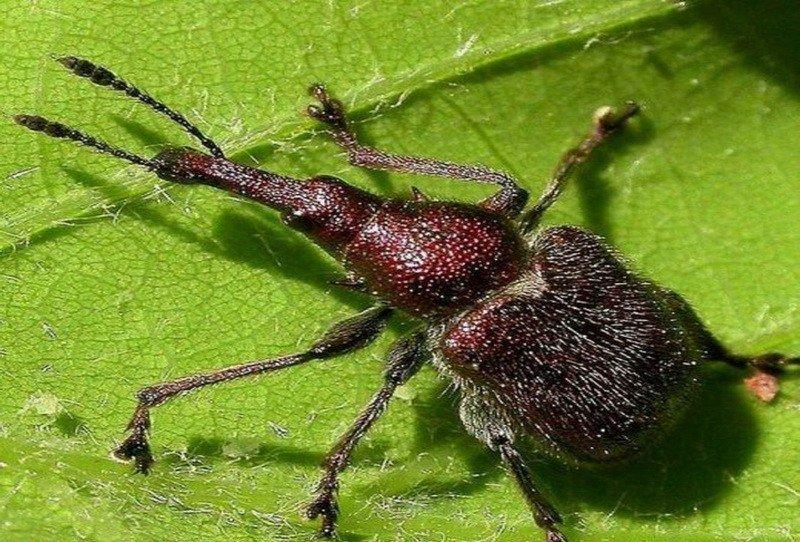 Вредитель крестоцветных – барид: жук, поедающий растения