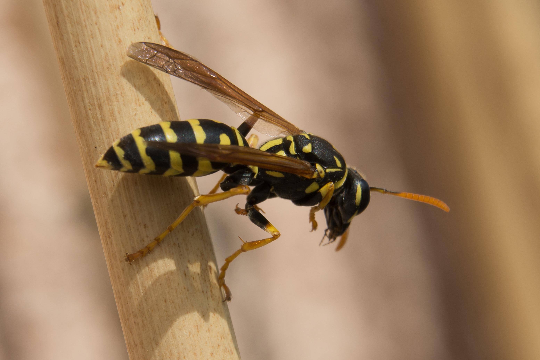 Какое насекомое похожее на осу, чем оно опасно