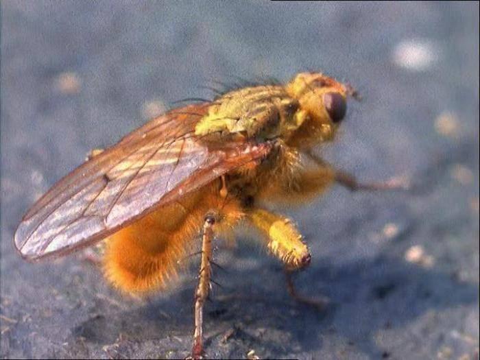 Навозные мухи