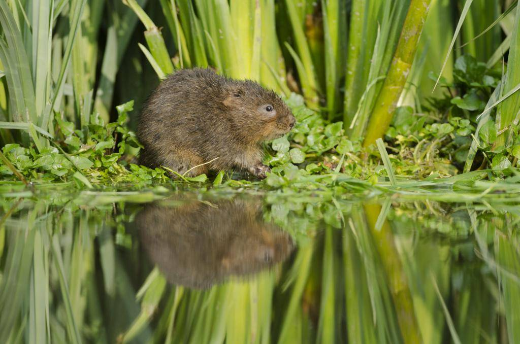 Как избавиться от водяных крыс на участке: признаки появления, наносимый вред, способы борьбы – отпугивание, химические средства, народные методы, из плюсы и минусы