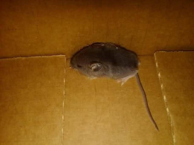 Как вывести мышей из машины - сорнякам нет