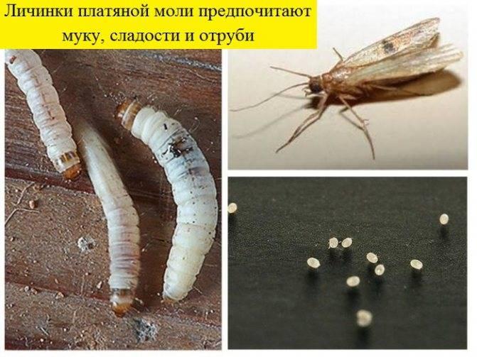Что ест и как размножается платяная и пищевая моль, ее опасность для человека, уничтожение и профилактика