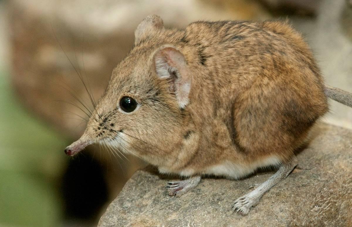 Мышь с длинным носом - фото и описание