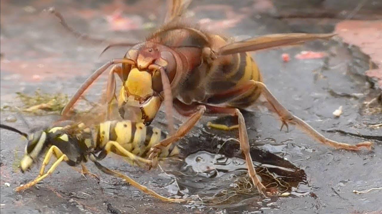 Как бороться с шершнями