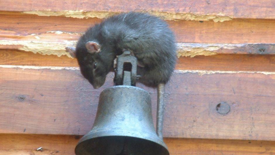 Как защитить дом от мышей