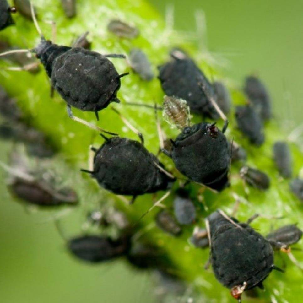 Черная тля на калине: как бороться и чем обработать калину весной, чтобы избавиться от тли