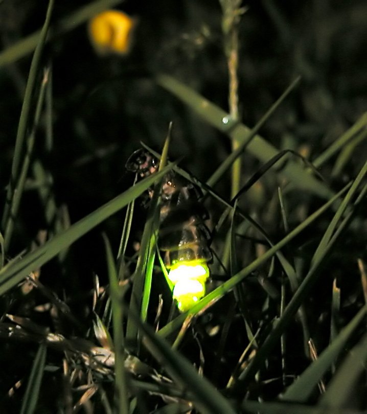 Звук сверчка: как и зачем насекомое стрекочет?