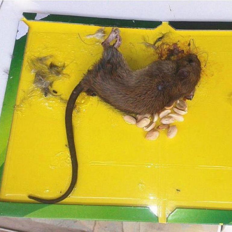 О использовании клея для крыс и мышей