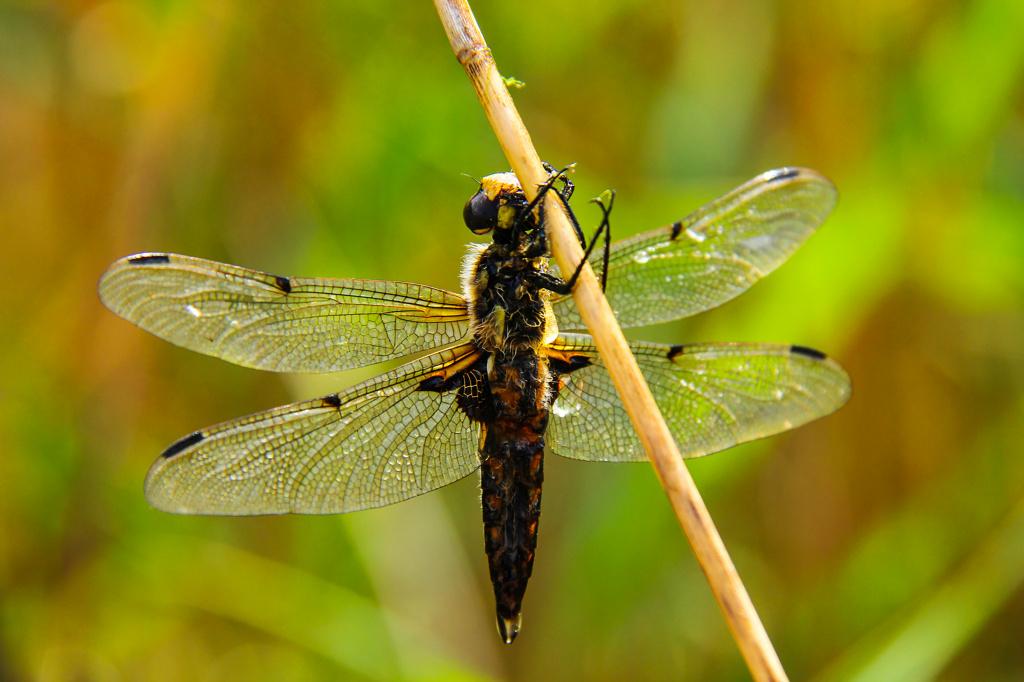 Коромысло зеленое: описание редкого вида, места обитания и защитные меры
