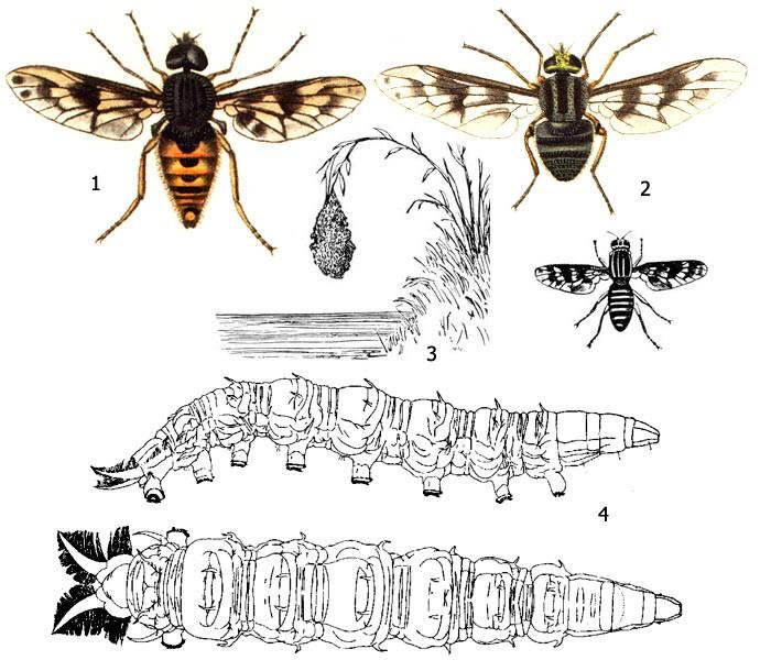 Муха дрозофила или плодовая мушка: сколько живут и где, цикл развития