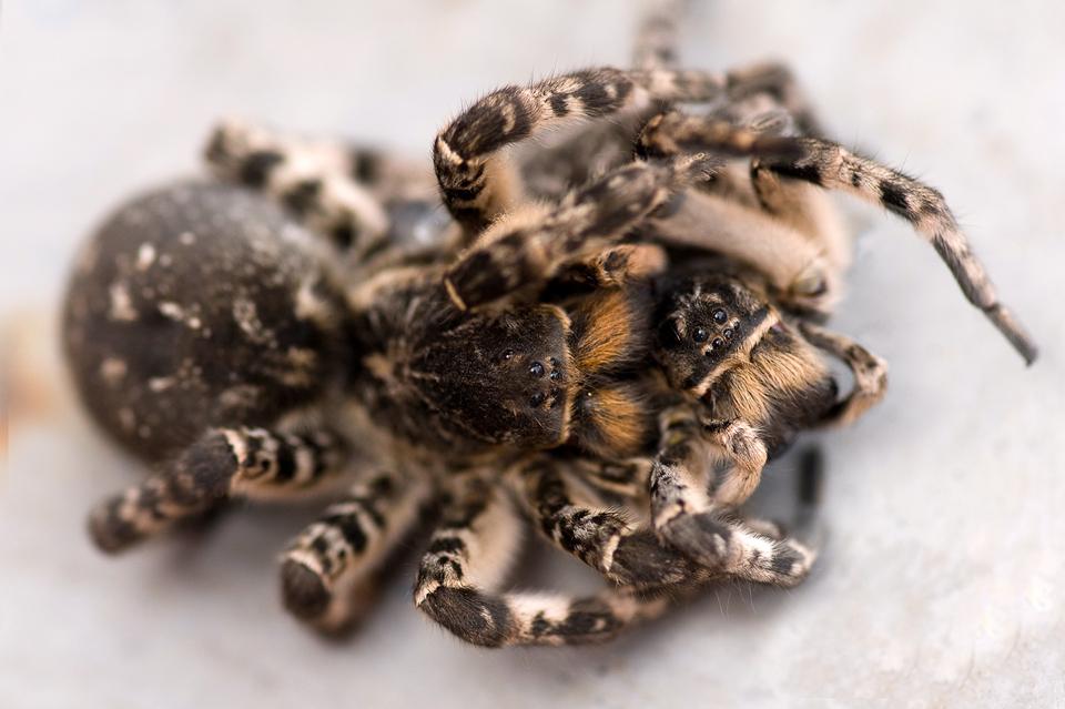 Южнорусский тарантул (паук мизгирь)