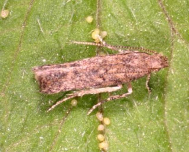 Томатная (минирующая) моль: как избавиться от насекомого из теплицы