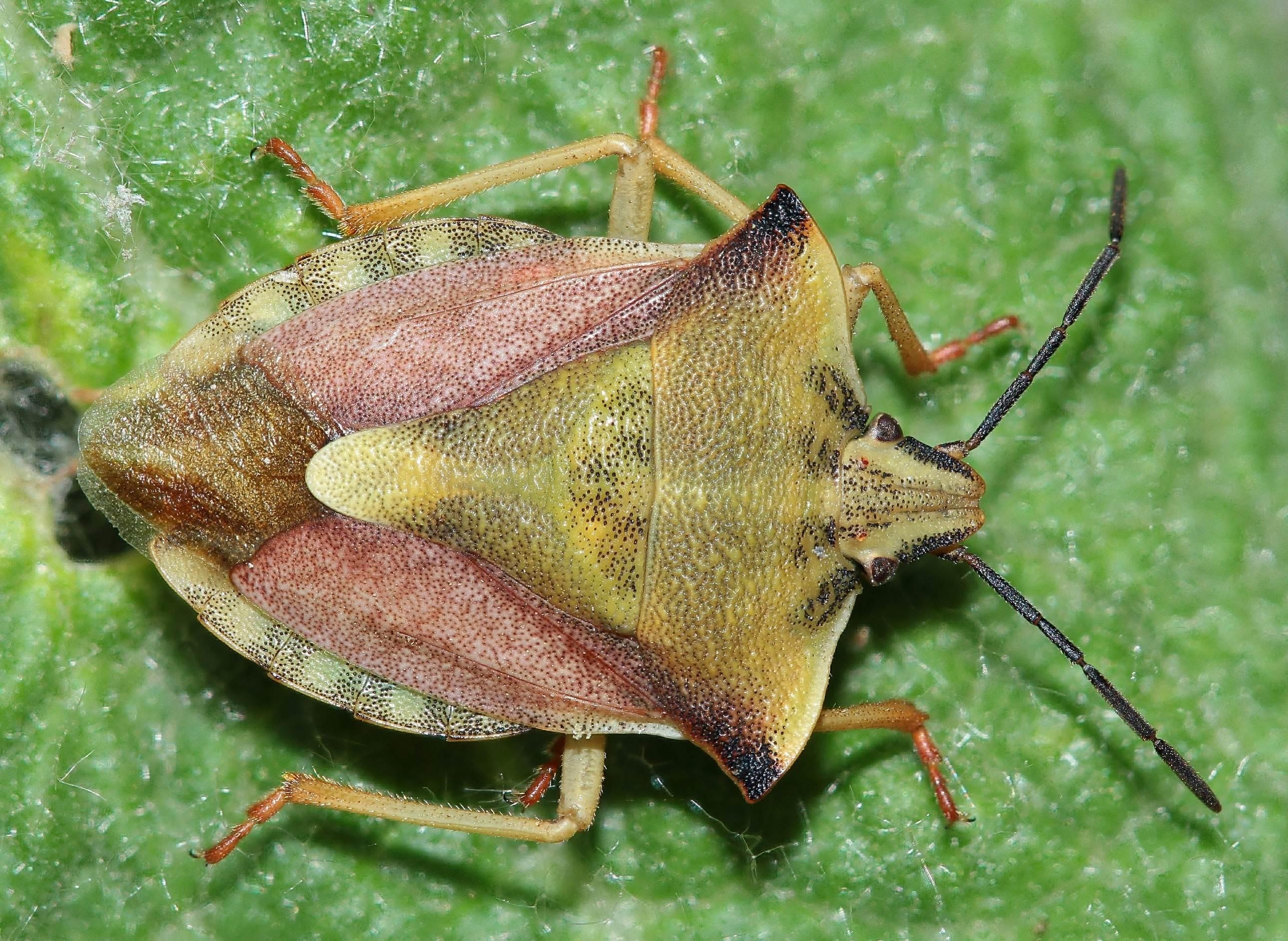 Особенности жуков навозников — распространённые виды и жизненный цикл насекомых