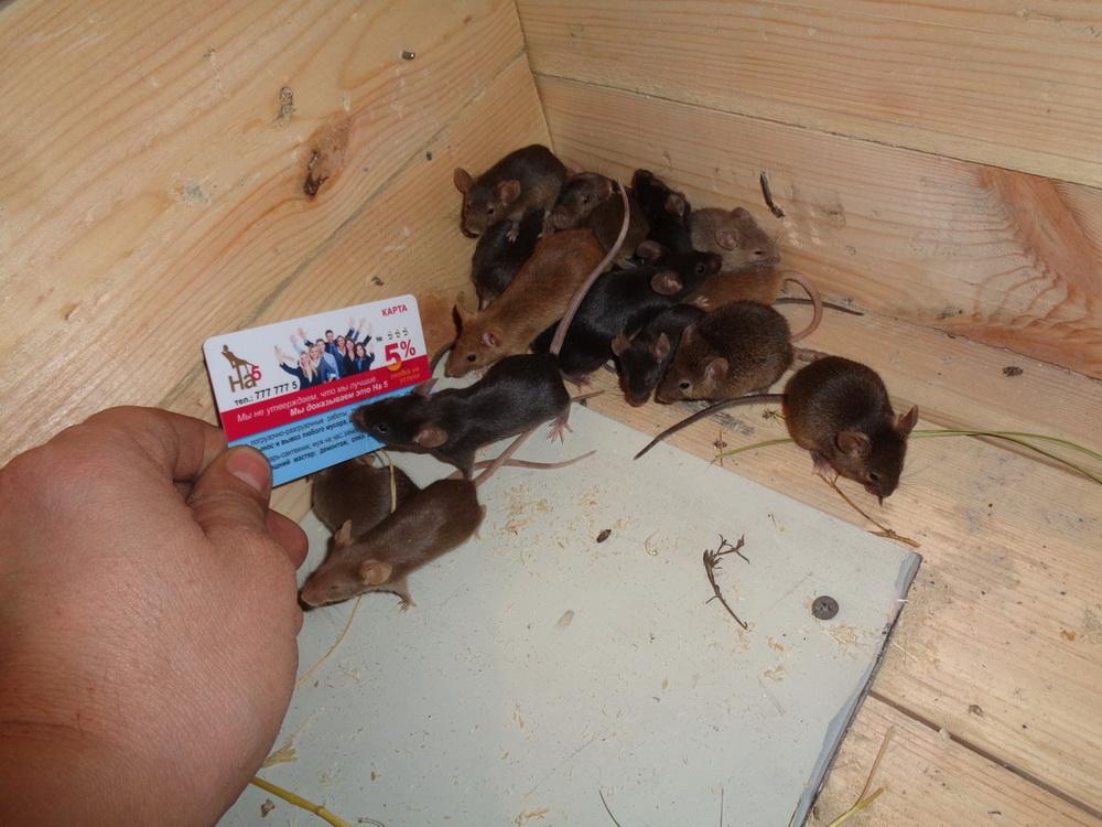 Декоротивные мыши - уход, содержание и разновидности домашних мышей