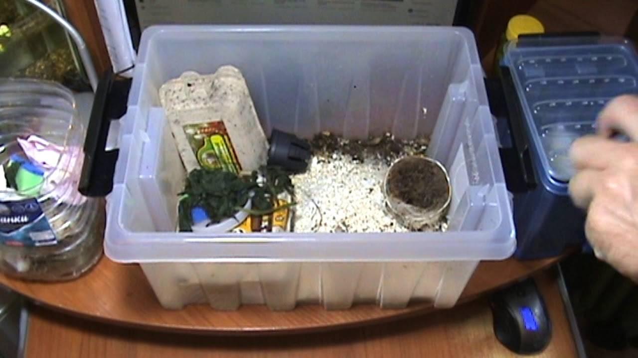 Как выглядит сверчок. основные правила разведения сверчков в домашних условиях