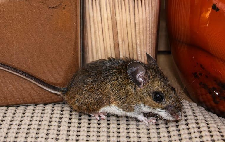 Как избавиться от мышиного запаха в доме