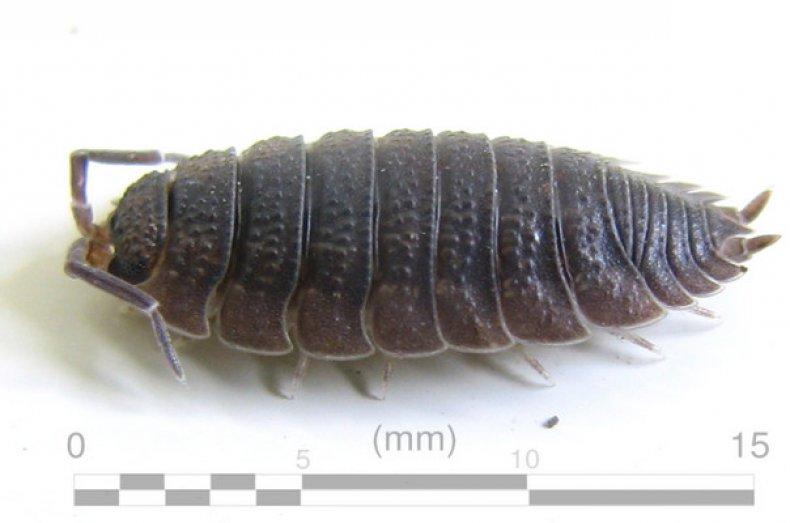 Описание мокриц: насекомое или ракообразное, как выглядит, чем питается