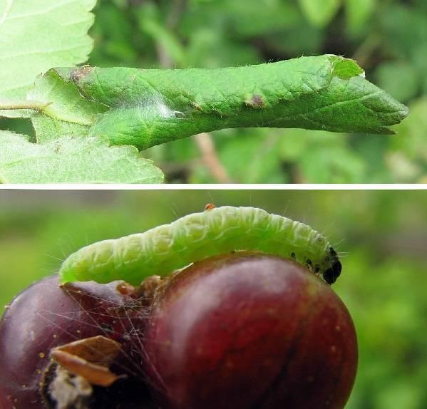 Гусеницы на крыжовнике объели листья, как бороться с вредителями