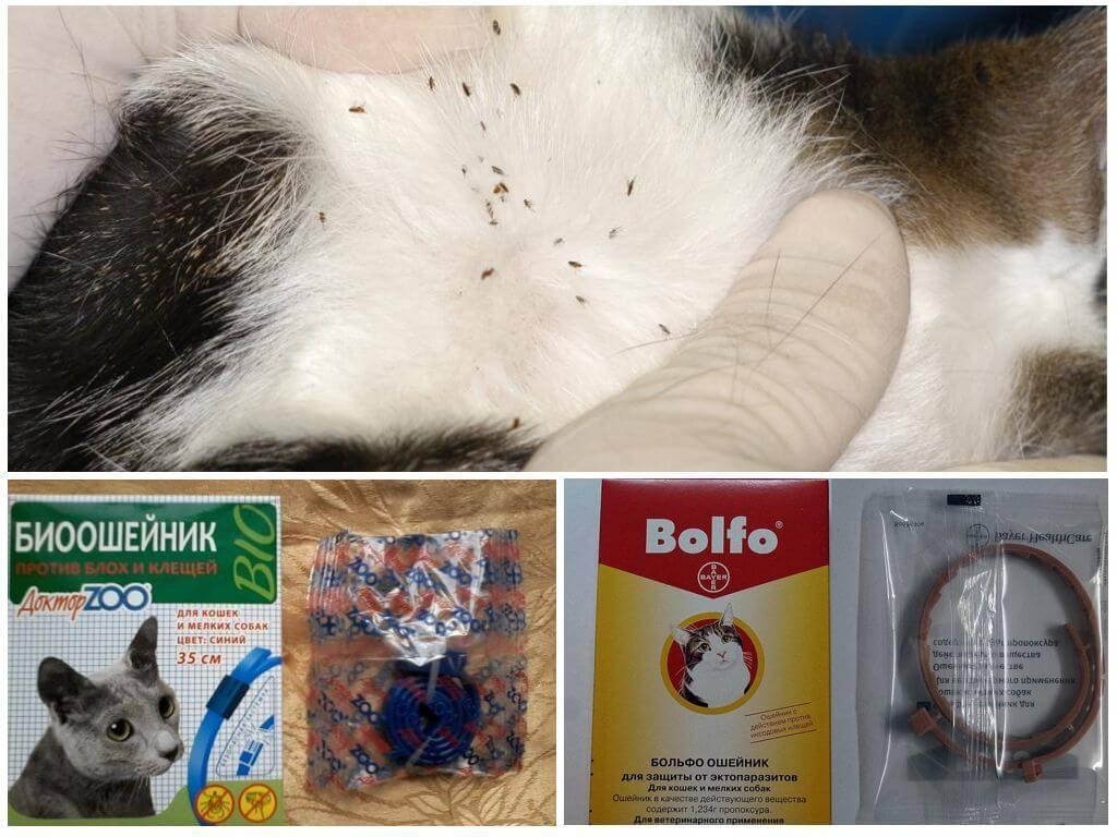 Как правильно пользоваться кошачьим ошейником от блох |