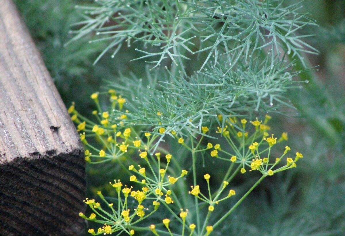 Тля на укропе: как избавиться от вредителя, чем опасно заражение, можно ли употреблять зелень и есть ли профилактика тли