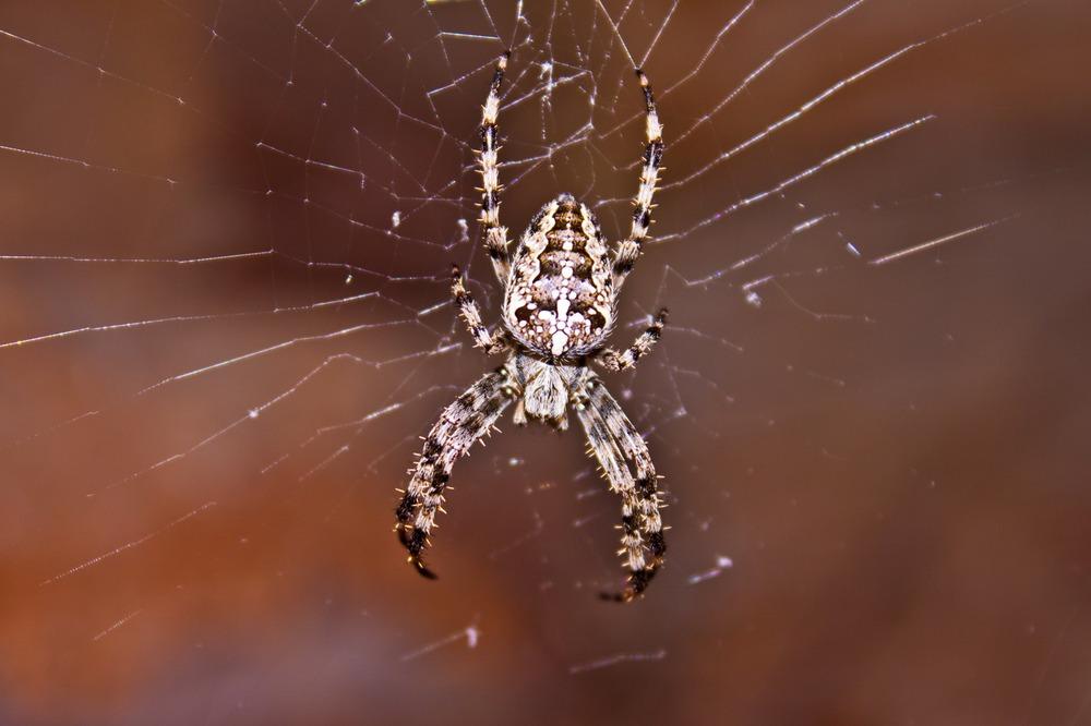Опасен ли укус паука-крестовика