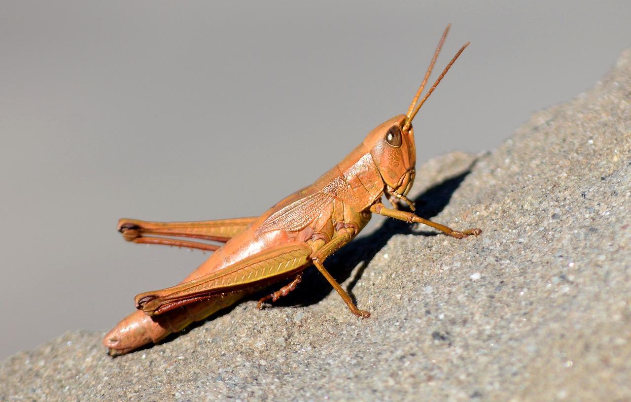 Сверчок насекомое. образ жизни и среда обитания сверчка